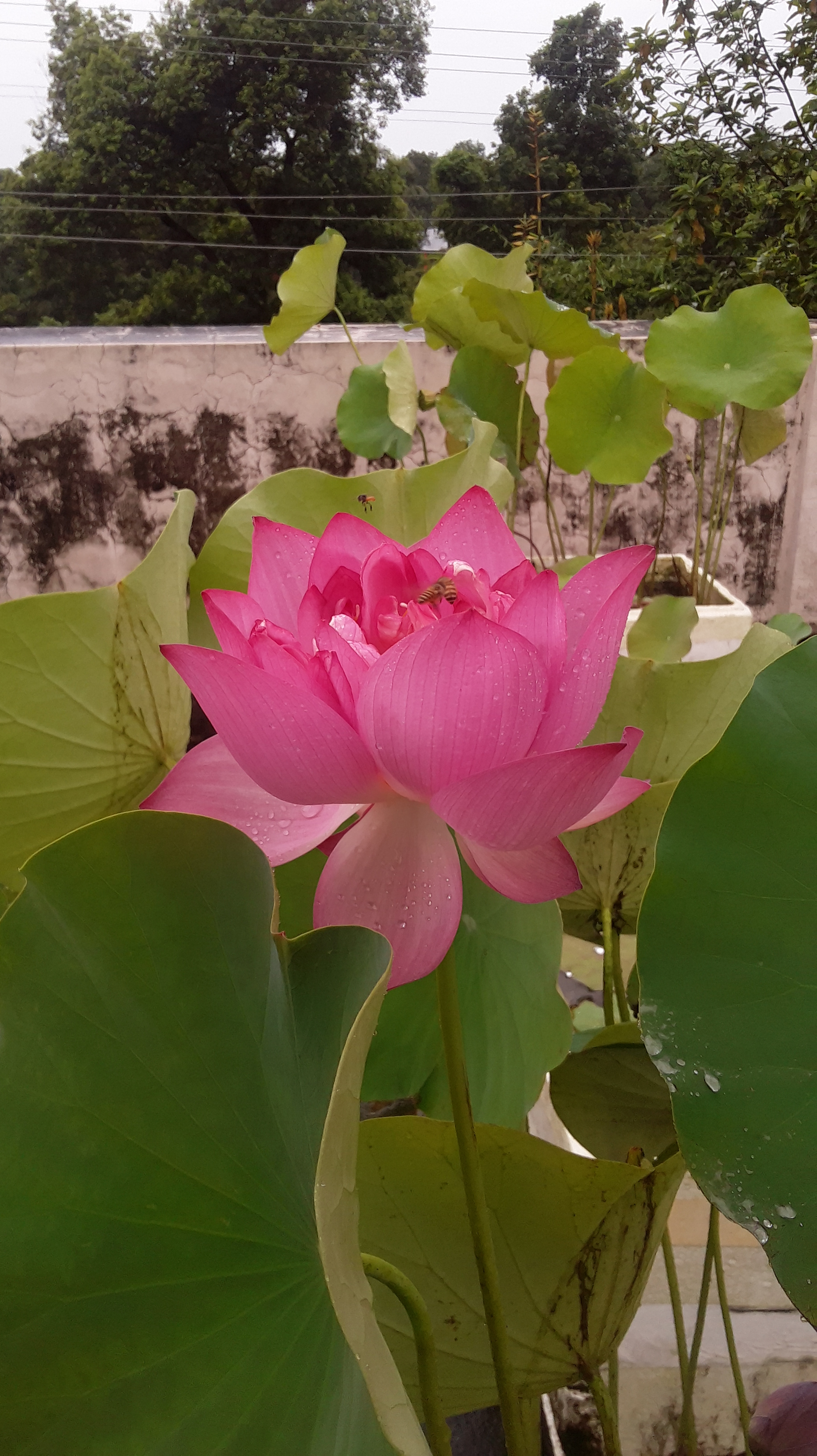 How one man in india is bringing the beauty of the lotus flower to how one man in india is bringing the beauty of the lotus flower to home gardens michael perry mr plant geek izmirmasajfo Images