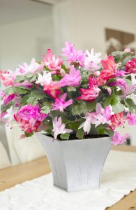 Gardening Presents: Christmas Cactus Trio
