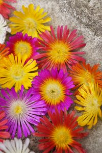 Easy Care Plant Delosperma