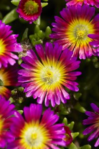 Easy Care Plant Delosperma- photo by Visions