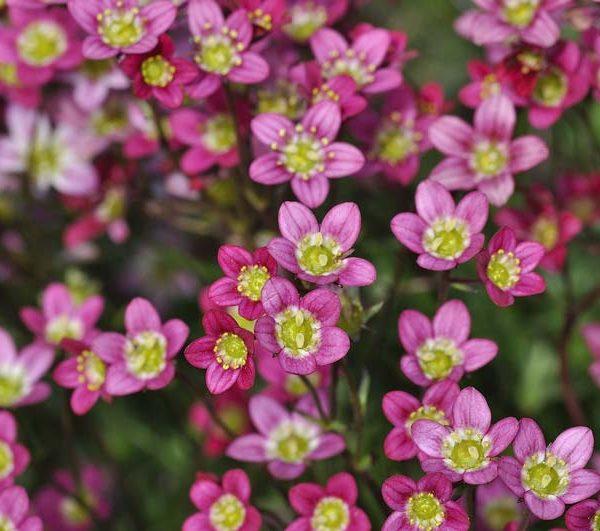 Plant Evolution: Saxifrage