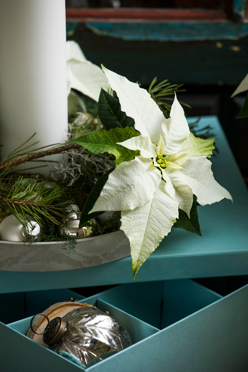 White Poinsettia The Must Have Plant This Christmas Mr Plant Geek