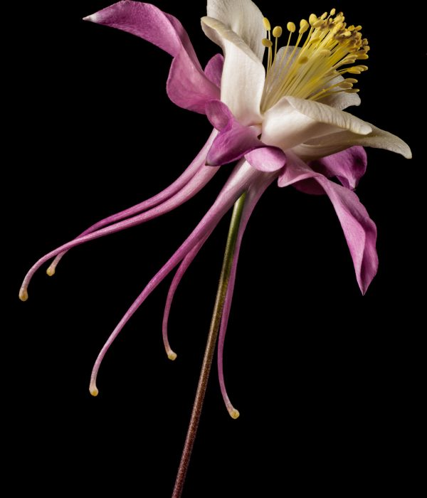 Aquilegia Flower by Marius Grose