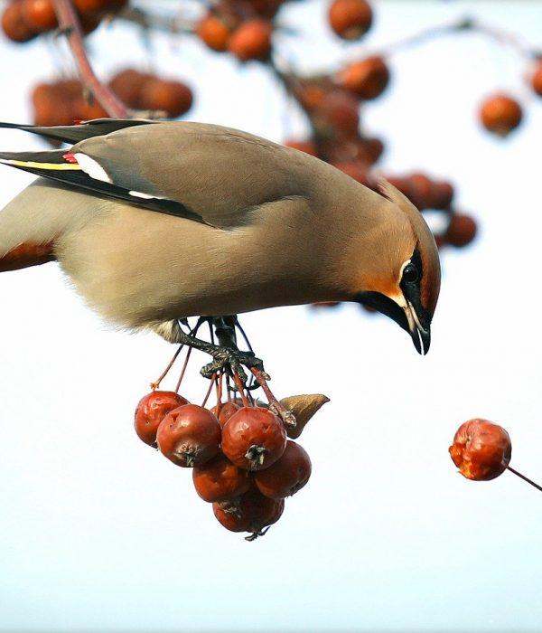 Bird eating Hawthorn berries