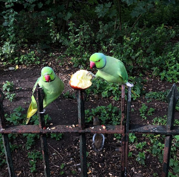 Parakeets in Hyde Park