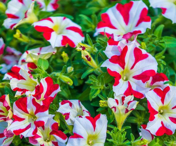 Petunia Queen of Hearts feature image