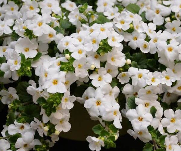 Bacopa Scopia Gulliver feature image