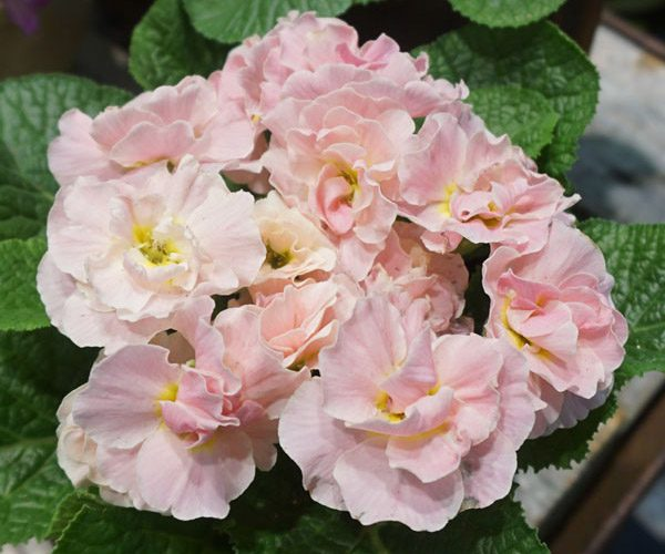 Houseplants - Primroses