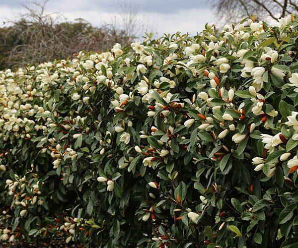 Magnolia Fairy Queen feature image