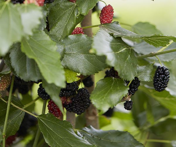 Morus Mojo Berry Dwarf Mulberry