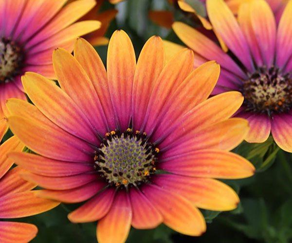 Osteospermum Purple Sun feature image
