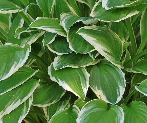 Variegated plants - featured image