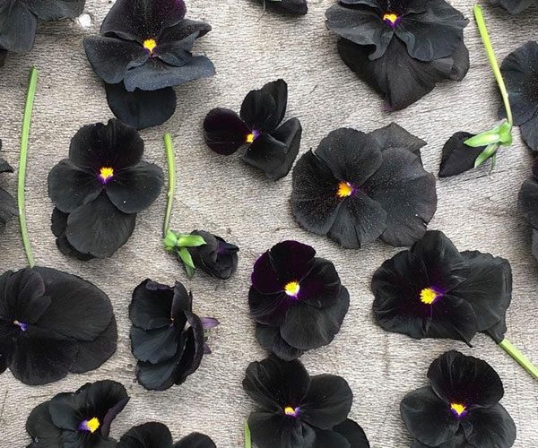Black blooms feature image