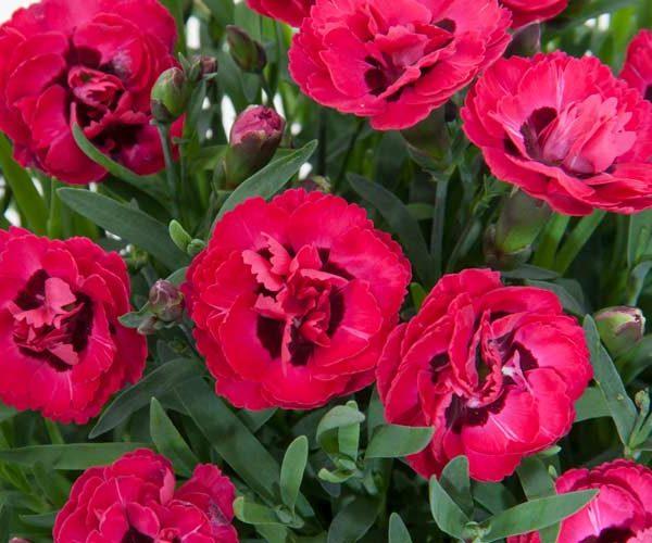 Dianthus - feature image