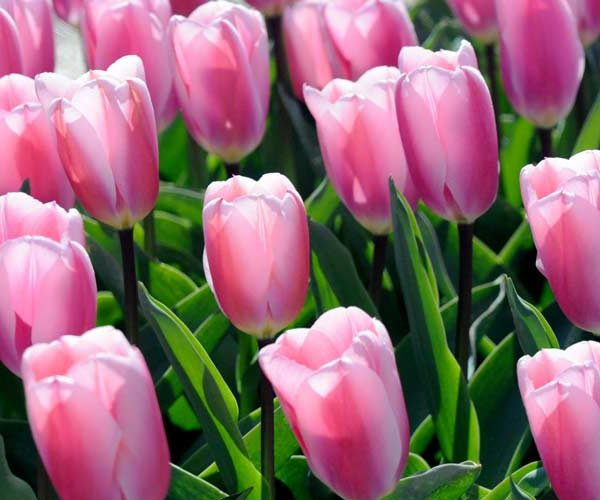 Tulip Pink Giant
